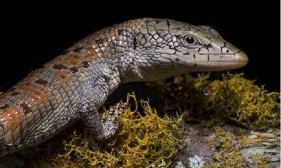 Tras 17 años avistan en Santander una lagartija única en el mundo que se creía extinta