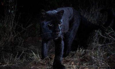 Un leopardo negro extremadamente raro, fue fotografiado por primera vez en 112 años
