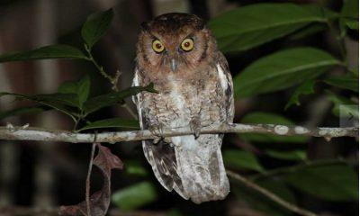 Descubren en el Amazonas dos nuevas especies de búhos chillones