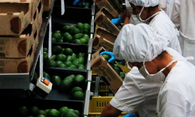 Colombia tiene lista la primera exportación de aguacate hass hacia Corea del Sur
