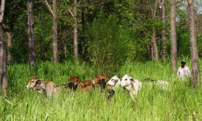 Iniciativa permitió que ganaderos sembraran 3,8 millones de árboles en 4.100 fincas