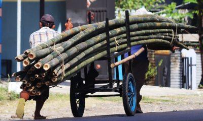 La especie de guadua que ubica a Colombia como productor número uno del mundo