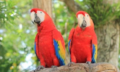 Después de 150 años, nacen tres crías silvestres de guacamayo rojo en Argentina