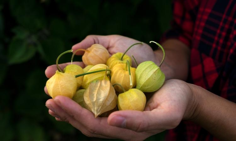 Colombia exporta uchuva a 17 países y deleita a los más exigentes