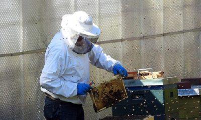 Municipio declaró a las abejas como insecto de interés ecológico, social y económico