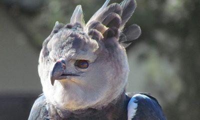 El águila arpía es el ave más grande de Colombia ¡Así la salvan para evitar su extinción!