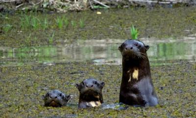 Se conoció el censo de nutrias en el río Orinoco y nos tienen buenas noticias