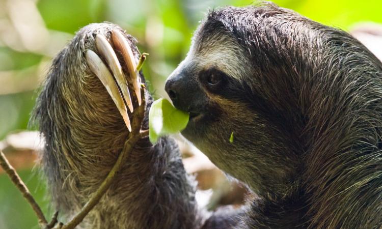 De esta manera se están protegiendo los osos perezosos en Colombia LA Nota Positiva