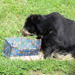 Los animales del bioparque Ukumarí en Pereira también tienen una navidad llena de regalos La Nota Positiva