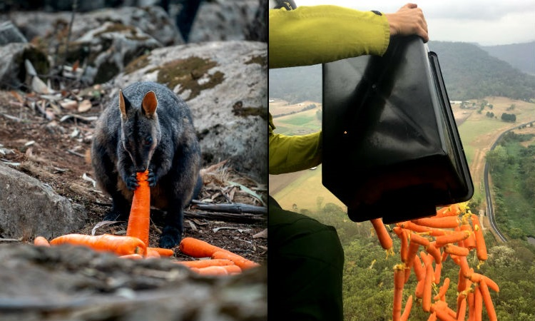"""""""Lluvia de zanahorias"""", así alimentan animales afligidos por los incendios en Australia"""