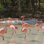 En Pereira inauguran hábitat de flamencos en el Bioparque Ukumarí