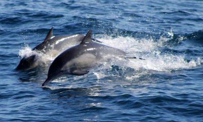 Manada de delfines fueron grabados en una playa en La Guajira