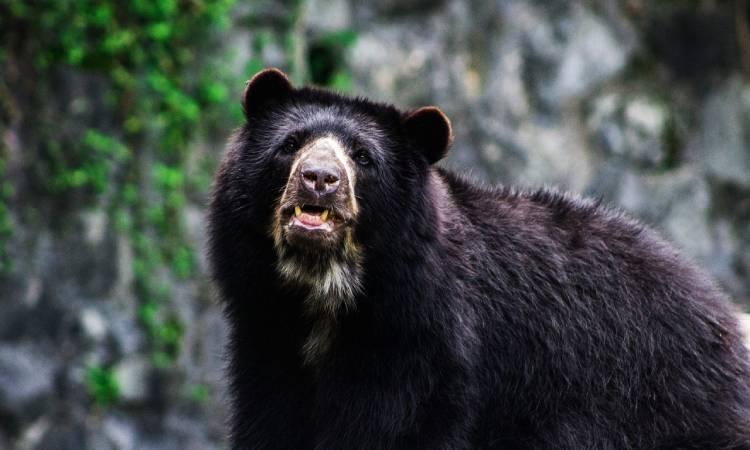 Cerca de Bogotá un oso andino se pasea con la tranquilidad que le ofrece la cuarentena