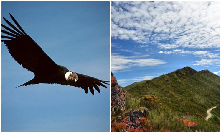 Avistan a un cóndor de los Andes en el Parque Nacional Natural Chingaza