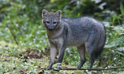 Así es el zorro perruno o cangrejero: el visitante de varias zonas urbanas de Bogotá