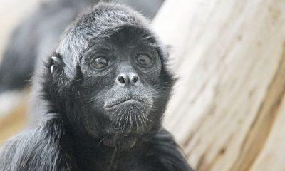 Mono en peligro de extinción nace en un zoológico de Medellín