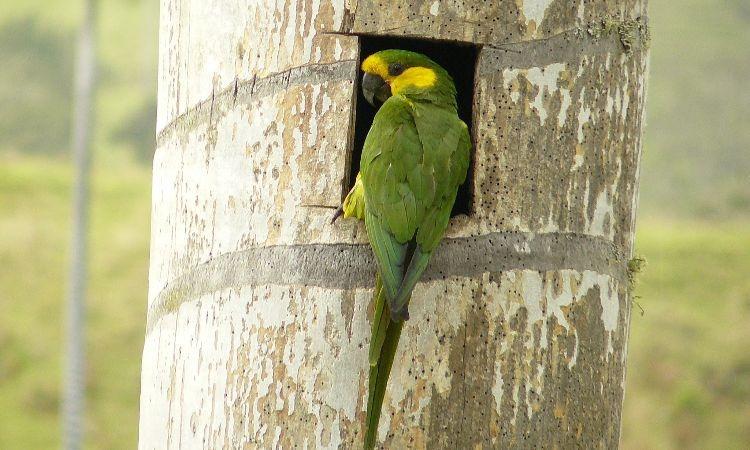Loro orejiamarillo, especie en Colombia que salió de la lista de peligro de extinción
