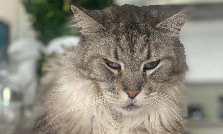 El primer gato con marcapasos en Colombia se recupera y goza de buena salud