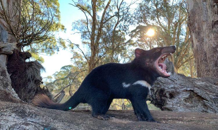 El demonio de Tasmania regresa por primera vez en 3 mil años a Australia continental