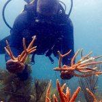 En San Andrés y Providencia trasplantan 128 colonias de arrecife de coral