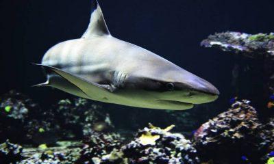 Prohibida la pesca artesanal de tiburones en los océanos de Colombia