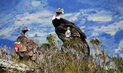 Primer censo del cóndor de los Andes mejorará los planes de conservación de la especie