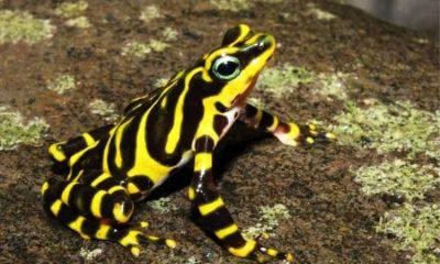 Nueva especie de rana arlequín fue hallada en la selva del Tapón del Darién