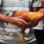 Aprueban proyecto que protege a las aves usadas en las peleas de gallos